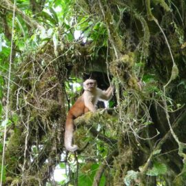 Ecuadorian white-fronted Capuchin Monkey in Buenaventura reserve, Ecuador © Wilmer Quimis