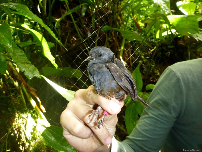 El Oro Tapaculo being banded. ©Claudia Hermes