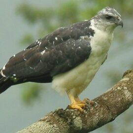 A perched Gray-backed Hawk in Buenaventura reserve, Ecuador. ©Francisco Sornoza