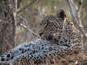 Leopard. ©Jo Dale.