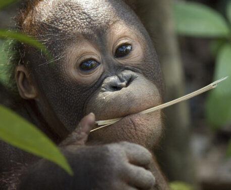Orangutan. Credit: Chris Perrett/naturesart.co.uk