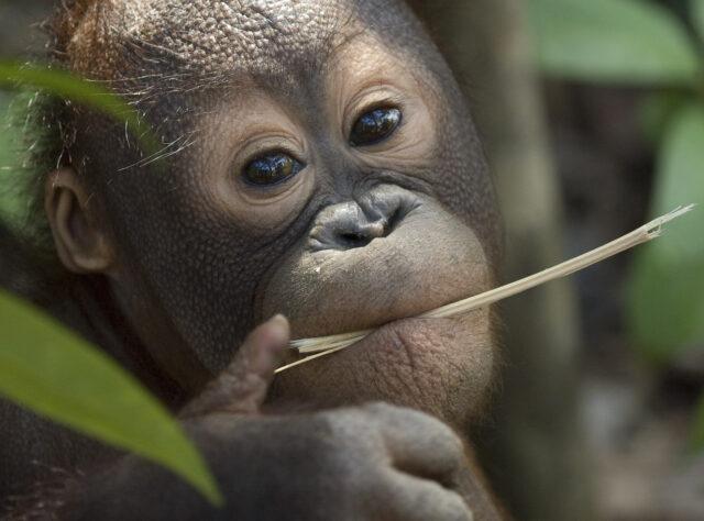 Orangutan. Credit: Chris Perrett/naturesart.co.uk