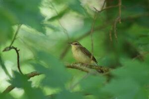 Swainson's Warbler. ©Andy Reago & Chrissy McClarren