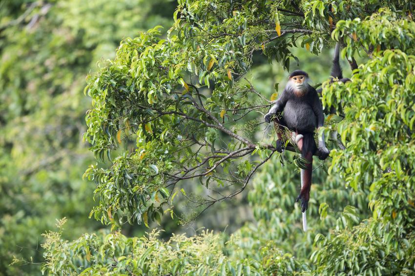 Red-shanked Douc. Credit: Bjornolesen.com/Viet Nature