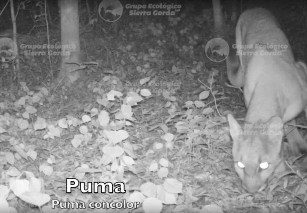 Camera trap image of a Puma
