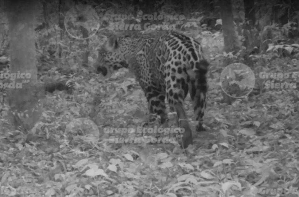 Camera trap image of a Jaguar