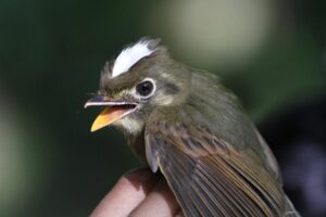 A Russet-winged Spadebill. Credit: Lee Dingain.