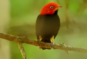 Male Red-headed Manakin on a branch. Credit: FUNDAECO>