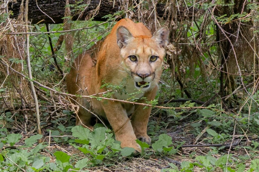 Puma faces the camera in Guatemala. Credit: FUNDAECO