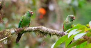 El Oro Parakeets, Buenaventura, Ecuador ©Doug Wechsler