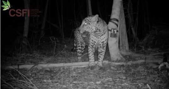 Camera-trap image of a Jaguar in Belize.