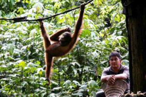 Young Orangutan hanging on a rope. ©David Bebber