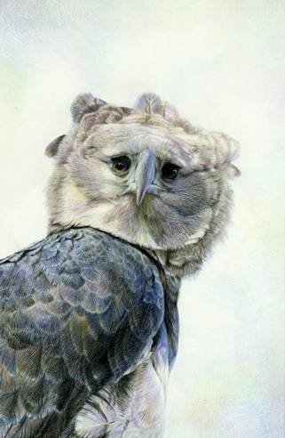 Harpy Eagle portrait by Nick Day.