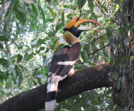 Great Hornbill perched in a Sacred Grove