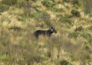 Mountain Tapir on a hillside