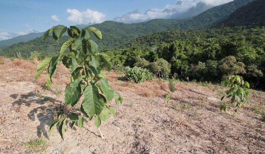 A sapling on hillside at REGUA, Brazil.