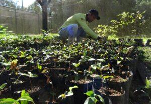 Mauricio tending to saplings in the tree nursery at REGUA, Brazil.
