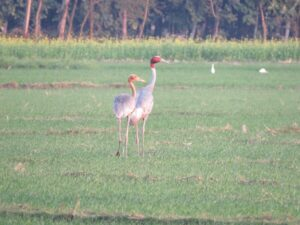A pair of Sarus Crane in a field, India.