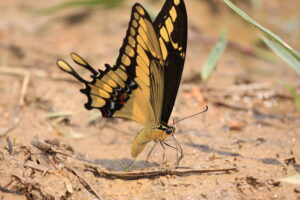 A Thaos Swallowtail butterfly on the ground at REGUA, Brazil.