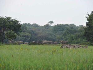 Elephants and Zebra roaming at Kasanka