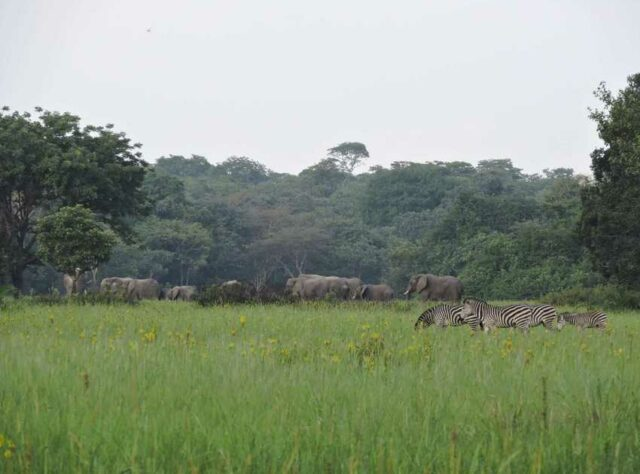 Elephants and Zebra roaming at Kasanka