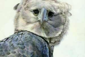 Harpy Eagle artwork by Nick Day.