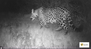 Black and white camera-trap image of a pregnant Jaguar in Paraguay