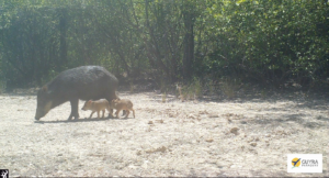 Mother and calf Lowland Tapir, photographed by a camera trap