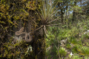 Mexican Dusky Rattlesnake curled on a tree trunk in the Sierra Gorda Biosphere Reserve, Mexico. Image credit: Roberto Pedraza Ruiz.