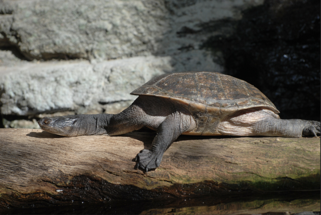 A Brazilian snake-necked Turtle stretched out on a log.