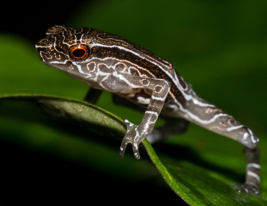 Tandayapa Andean Toad on a leaf. Ross Maynard.