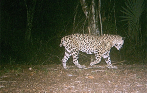 A camera trap image of a Jaguar in Belize, affectionately known as 'Short Tail'.