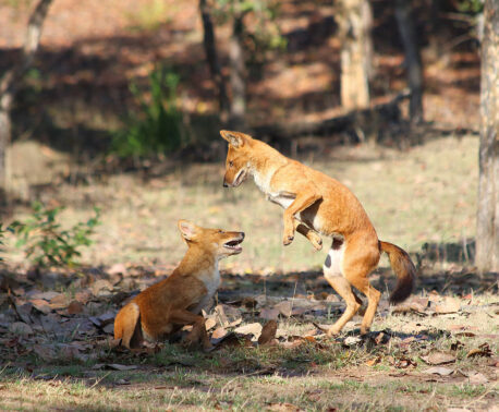 Two Dhole playing in the Pench Tiger Reserve, India.