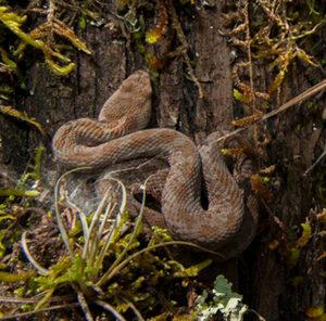 Mexican Dusky Rattlesnake - Roberto Pedraza Ruiz.
