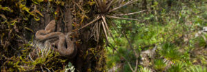 Mexican Dusky Rattlesnake curled on a tree trunk in the Sierra Gorda Biosphere Reserve, Mexico.