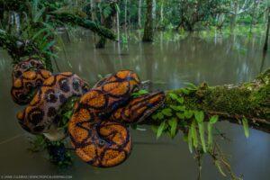 A Rainbow Boa wrapped around a branch at Nangaritza Reserve, Ecuador.