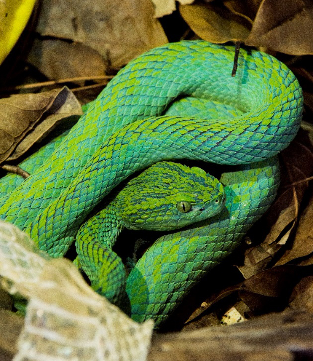 A Merendon Pit Viper curled up in leaf litter.