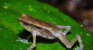 Tandayapa Andean Toad on a leaf. Ryan Lynch.