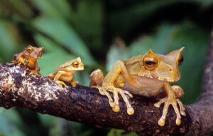 Horned Marsupial Frogs on a branch ©Brad Wilson