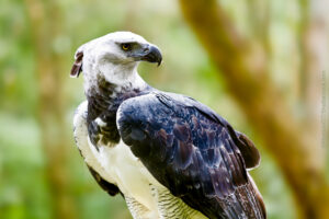 Harpy Eagle perched in the forest - ©MarcusVDT