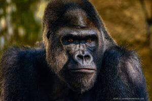 Adult male Gorilla