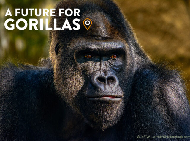 A Future for Gorillas