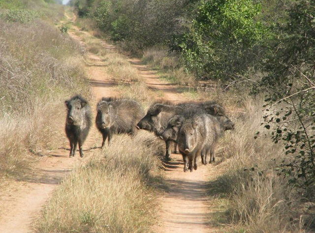 A group of hacoan Peccary of Córdoba Province, Argentina