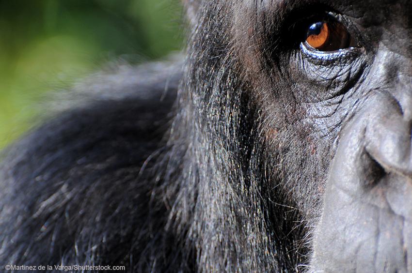 Close-up of a Chimpanzee
