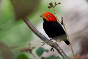 A perched Red-capped Manakin ©Dan Bradbury/WLT