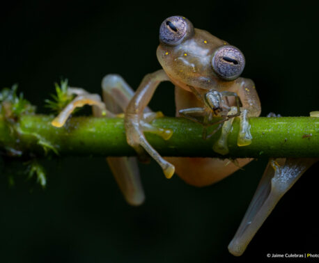 Manduriacu Glass Frog feeding on a spider