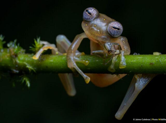 Manduriacu Glass Frog feeding on a spider