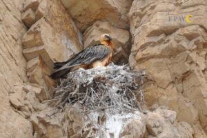 Bearded Vulture on nest ©FPWC/Manuk Manukyan