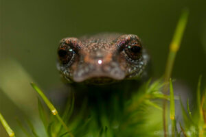 Face on view of a Chunky False Brook Salamander, Sierra Gorda ©RobertoPedrazaRuiz
