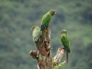 El Oro Parakeets on a branch Buenaventura, Ecuador ©Francisco Sornoza